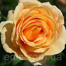 Роза штамбовая Кэндллайт (Candlelight)