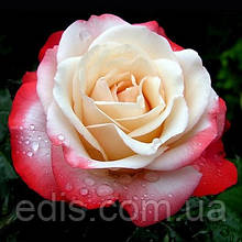 Роза штамбовая Ностальжи (Nostalgie)