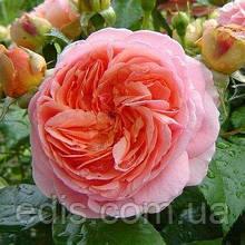 Роза штамбовая Чиппендейл (Chippendale)