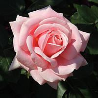 Роза чайно-гибридная Фредерик Мистраль (Rose Frederic Mistral)