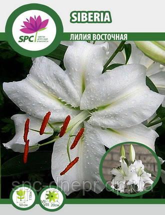 Лилия восточная Siberia