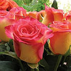 Саженцы чайно-гибридной розы Высшее Общество (Rose High Society), фото 2