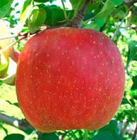 Саженцы яблони ФУДЖИ ЯТАКА зимнего срока созревания (двухлетний)