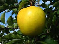 Саджанці яблуні ГОЛДЕН РЕЗИСТЕНТ зимового терміну дозрівання (дворічні)