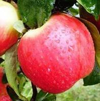 Саджанці яблуні КАНЗИ зимового терміну дозрівання (дворічний)