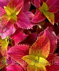 """Колеус гибридный """" Алабама Сансет"""" № 94 \ Coleus hybridus Alabama Sunset ( саженцы)"""
