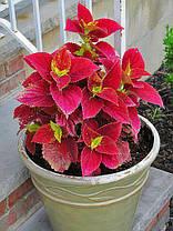"Колеус гибридный "" Алабама Сансет"" № 94 \ Coleus hybridus Alabama Sunset ( саженцы), фото 2"
