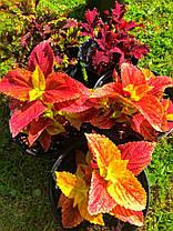 "Колеус гибридный "" Алабама Сансет"" № 94 \ Coleus hybridus Alabama Sunset ( саженцы), фото 3"