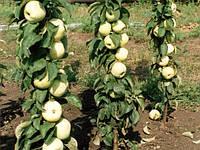 Саженцы колоновидной яблони ПРЕЗИДЕНТ летнего срока созревания (двухлетний)