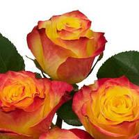 Роза чайно-гибридная Ньюс Флеш (Newsflash)