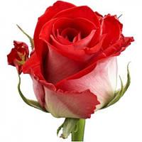 Роза чайно-гибридная Обригадо (Obrigado)