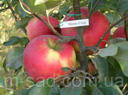 Яблоня Хоней Крисп(скороплодный,кисло-сладкий), фото 2