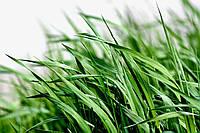 Важнейшие злаки в составе газонных трав