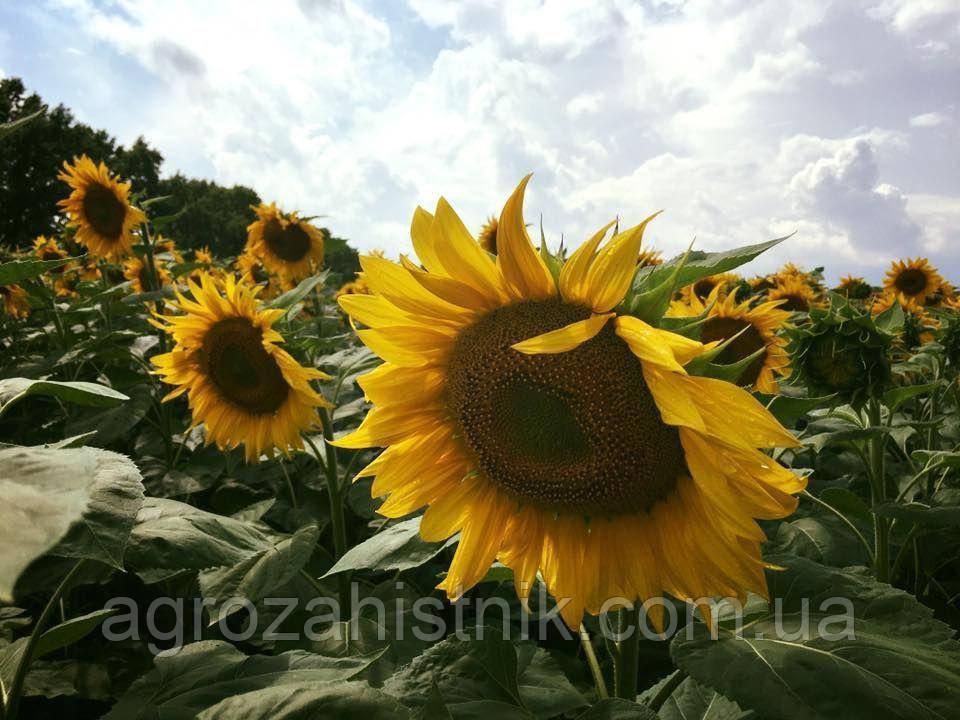 Семена  подсолнечника Антей (подсолнечник под Гранстар)