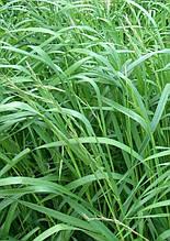 Насіння трава, райграс багаторічний фасовка 25 кг