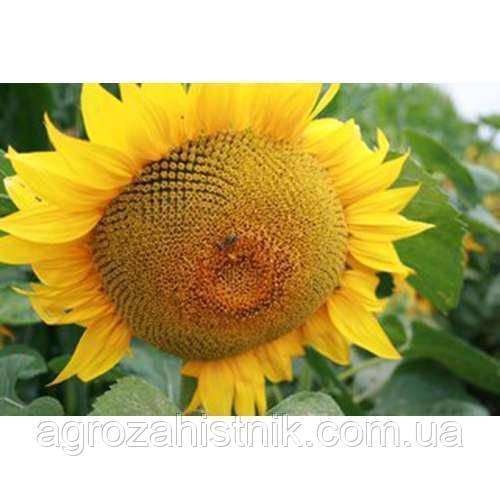 Семена подсолнечника НС Х 195 (Адмирал) 107-109 дн