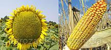 Насіння соняшнику Buleria (Булерія)