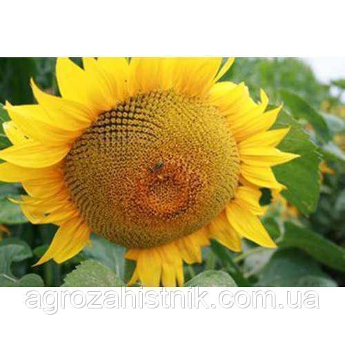 Семена подсолнечника NS SUMO 556 СУМО