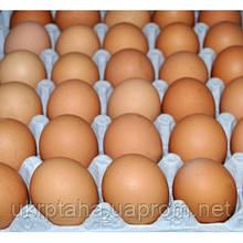 Испанка,(красная, черная) куриное инкубационное яйцо