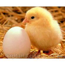 Мастер грей, куриное инкубационное яйцо