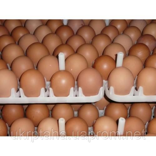Фарм красны, куриное инкубационное яйцо