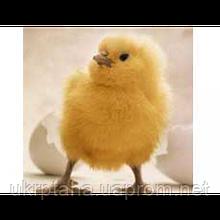 КОББ-500, суточный молодняк птицы, цыплята