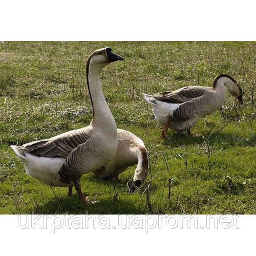 Кубанский серый импорт, суточный молодняк птицы, гусята