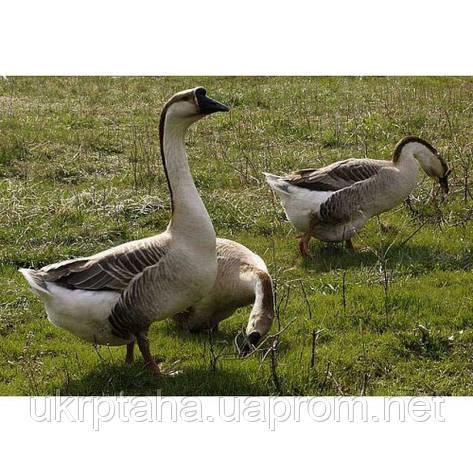Кубанский серый импорт, суточный молодняк птицы, гусята, фото 2