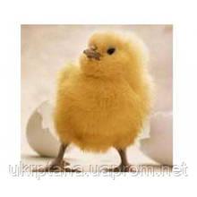 РОСС-308, суточный молодняк птицы, цыплята