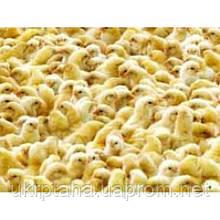 РОСС-708, суточный молодняк птицы, цыплята
