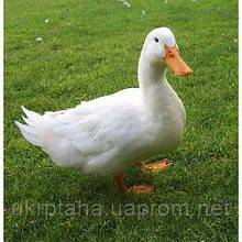 Стар-53, суточный молодняк птицы, утята