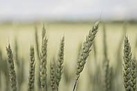 Семена пшеницы яровой МИП Свитлана, супер элита