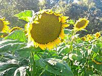 Насіння соняшника РИМИ (RIMI) (Екстра)