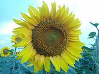 Насіння соняшника НС ОСКАР (NS OSKAR) (Стандарт)