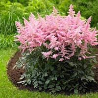 Астильба рожева, низькоросла, фото 1