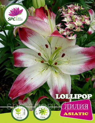 Лилия азиатская Lollypop