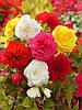 Бегония клубневая бахромчатая микс цветов, 2 шт