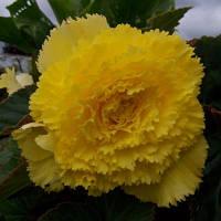 Бегония клубневая бахромчатая желтая