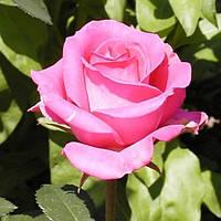 Роза чайно-гибридная Сандра (Sandra)