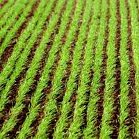 Перше позакореневе підживлення озимих зернових навесні
