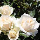 Саженцы чайно-гибридной розы Талея (Rose Talea), фото 2