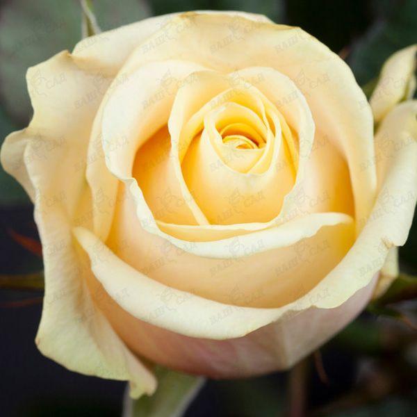 Саженцы чайно-гибридной розы Талея (Rose Talea)