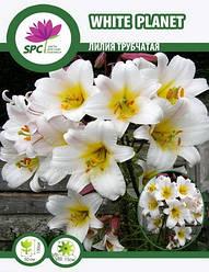 Лилия лонгифлорум трубчатая White Planet