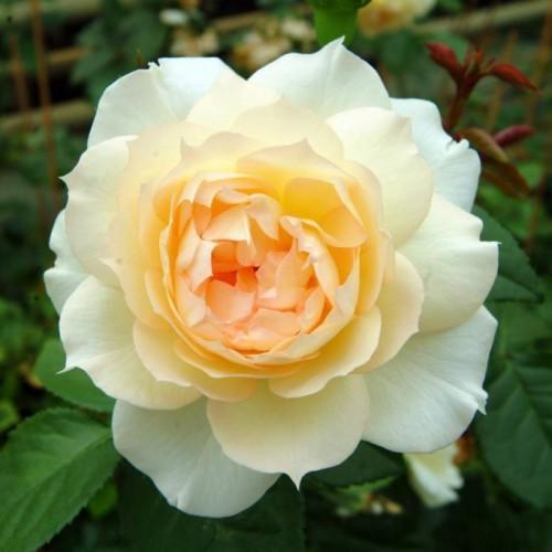 Саженцы розы чайно-гибридной Чайковский (Rose Tchaikovski)