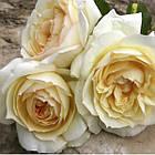 Саженцы розы чайно-гибридной Чайковский (Rose Tchaikovski), фото 2