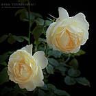 Саженцы розы чайно-гибридной Чайковский (Rose Tchaikovski), фото 3
