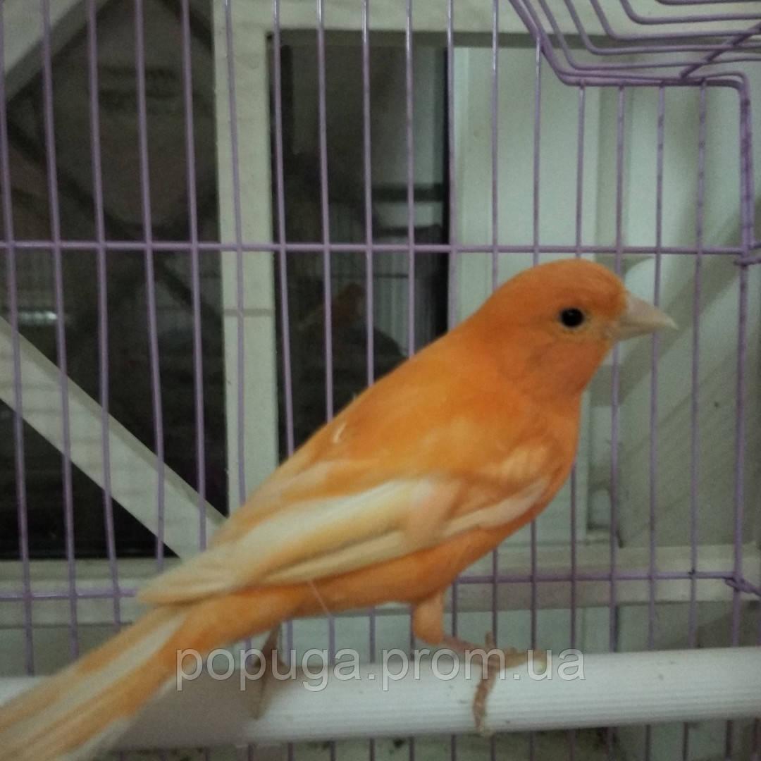 Кенар оранжевий поющий самец