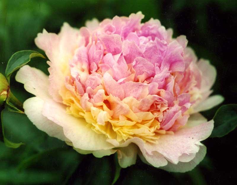 Пион травянистый Raspberry Sundae 1 клубень