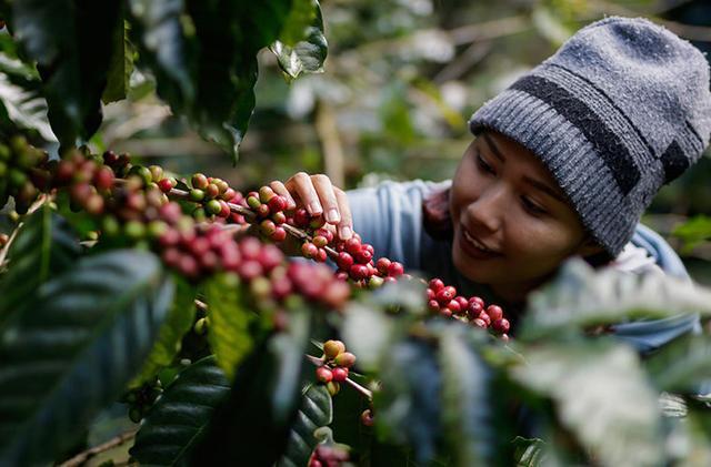 кофе в зернах робуста Индонезия заказать в интернет магазине в Украине