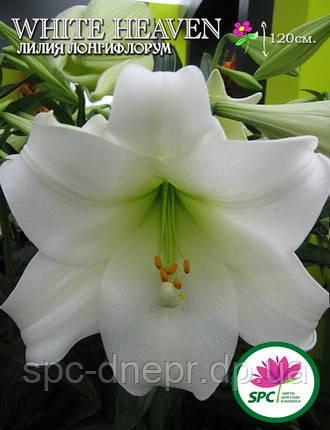 Лилия лонгифлорум трубчатая White Heaven, фото 2